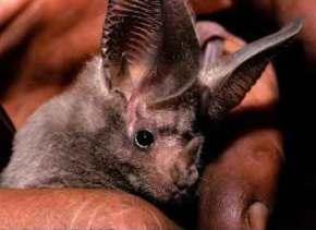 Uma enzima da saliva do morcego inspira medicamento para pacientes de AVC e diabetes