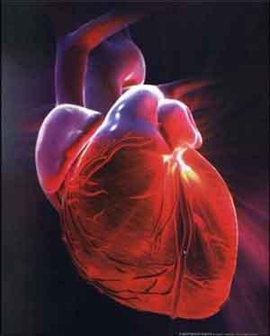 Cientistas descobrem gene responsável batimentos cardíacos
