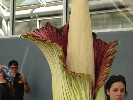 foto da flor que cheira cadáver Amorphophallus titanum