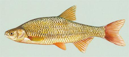 Foto de uma carpa dourada - Notemigonus crysoleucas