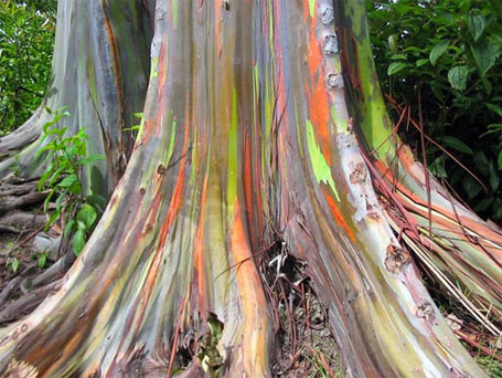 árvore arco-íris