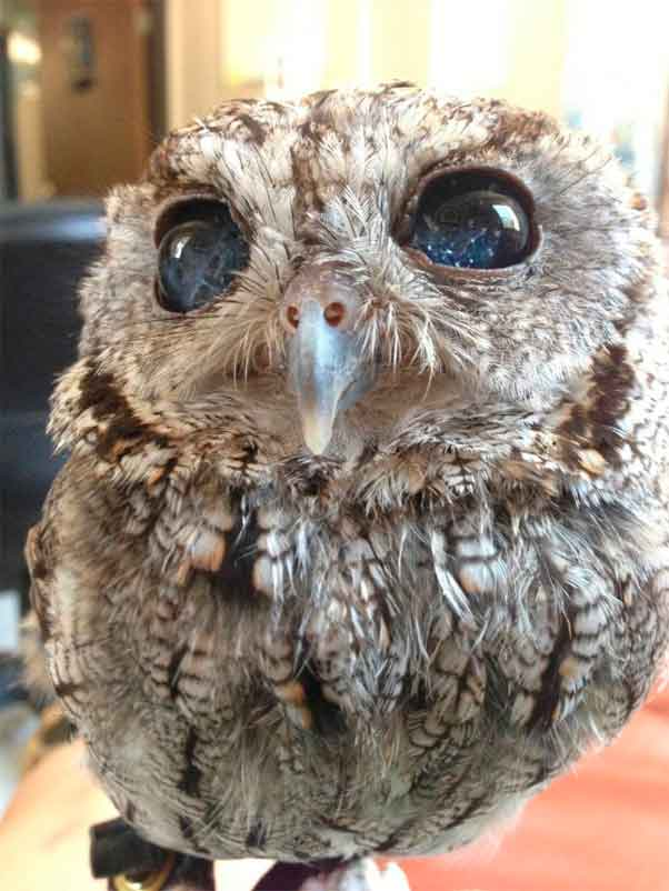 tudo sobre a coruja zeus - estrelas nos olhos