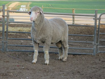 150465 sheep