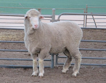 150692 Sheep