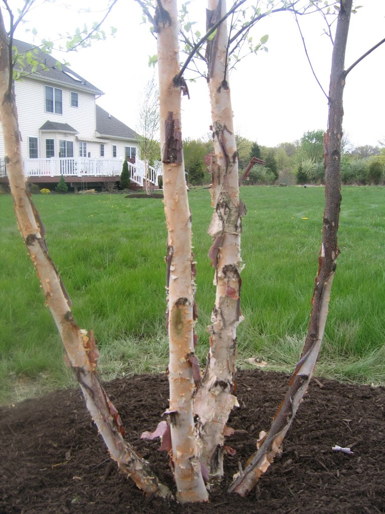 River Birch Archives - The Obsessive Neurotic Gardener