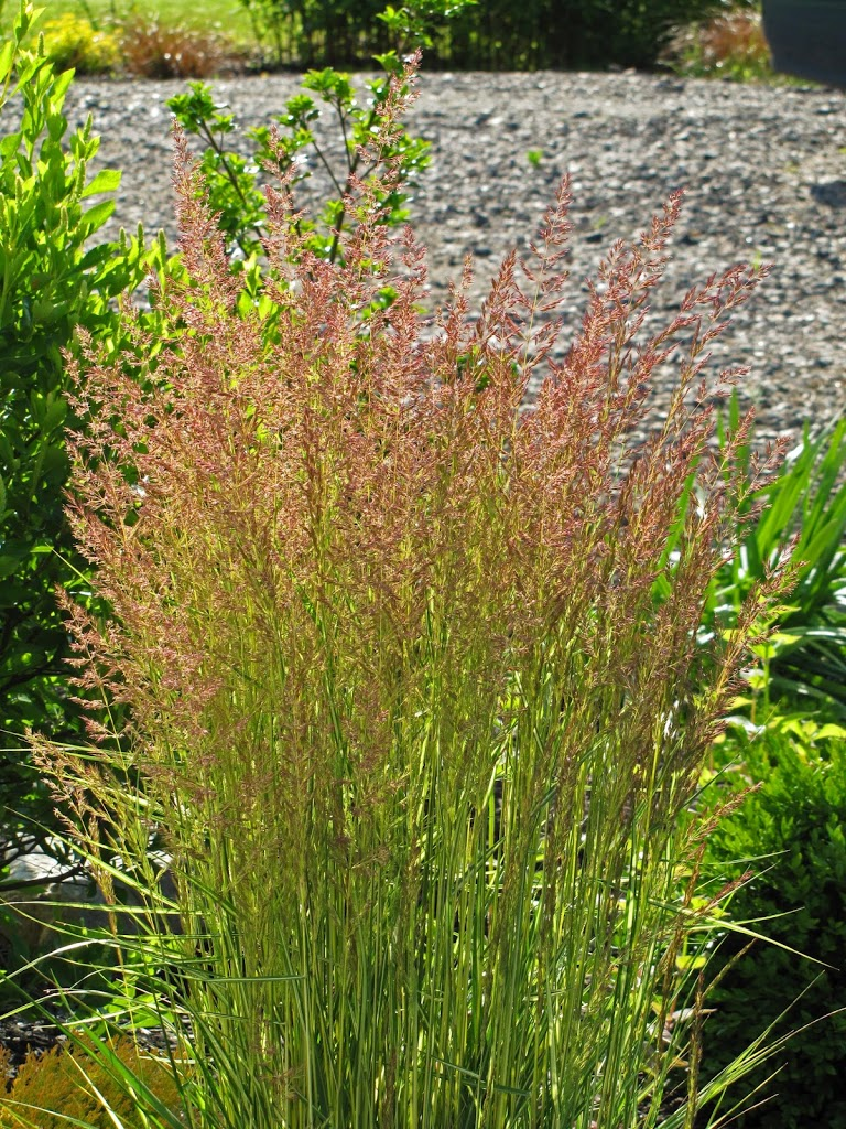 Calamagrostis (Feather Reed Grass) 'El Dorado' - The ...