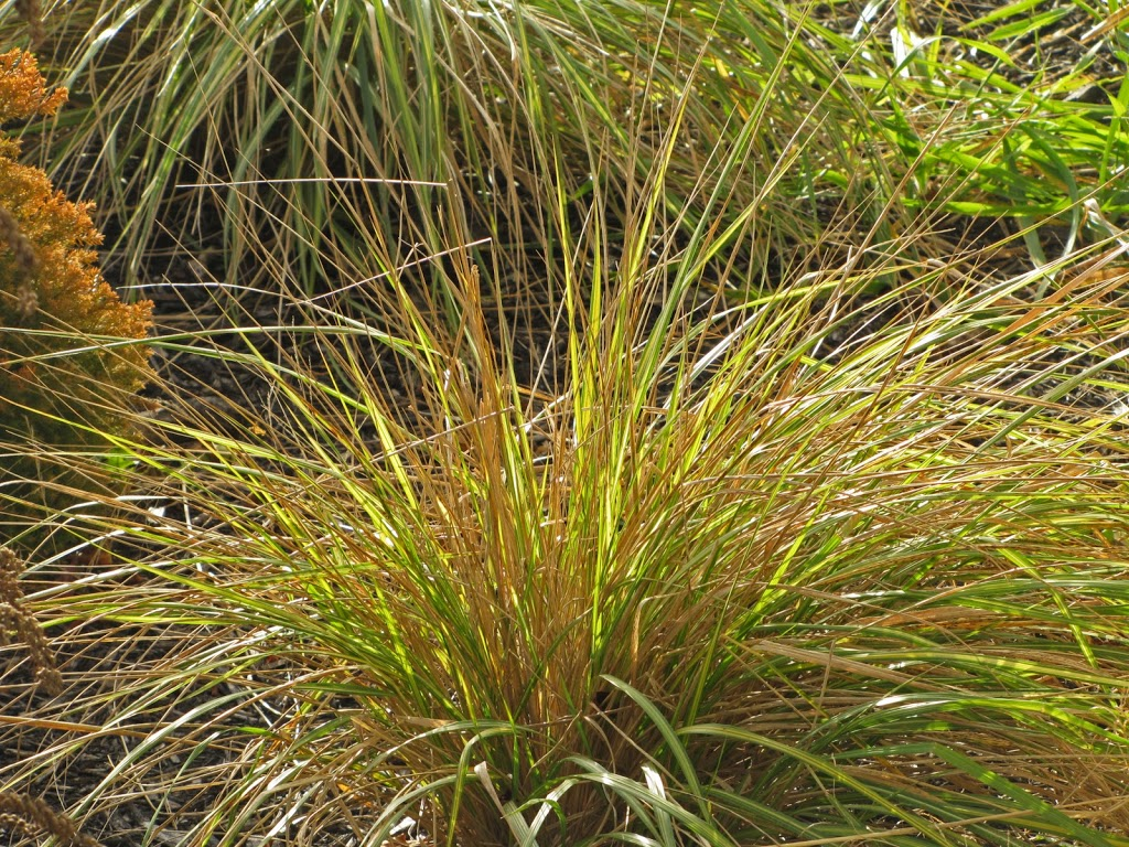 Calamagrostis feather reed grass 39 el dorado 39 the for Ornamental feather grass