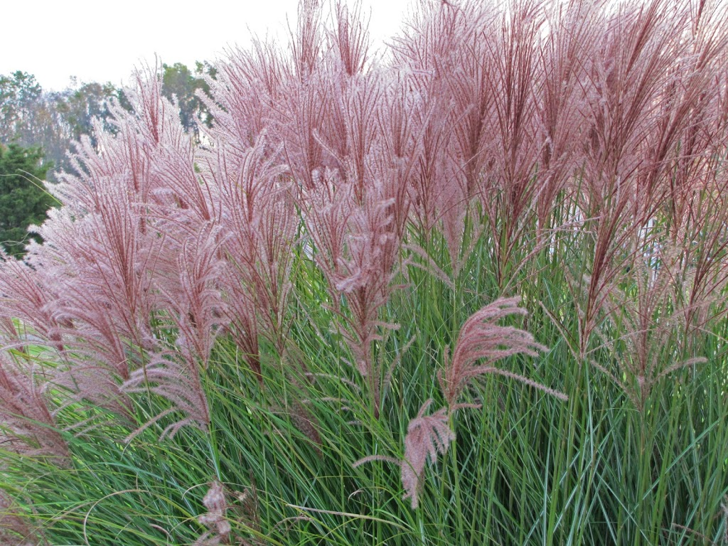See ya ornamental grasses the obsessive neurotic gardener for Tall perennial grasses