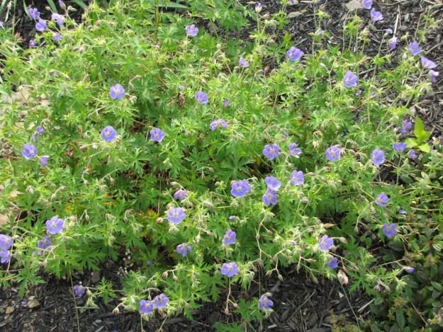 how to get rid of invasive geranium