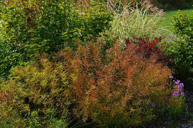 amsonia-fall-color1