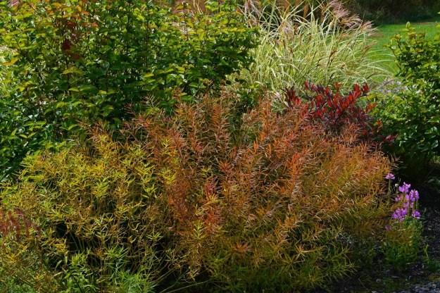 amsonia-fall-color1