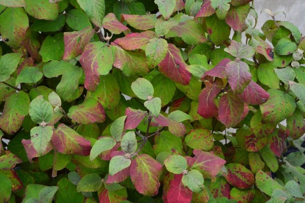 viburnum-aurora-fall-color