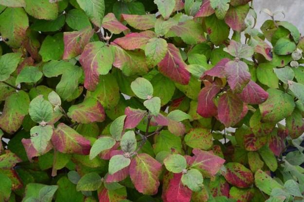 viburnum-aurora-fall-color
