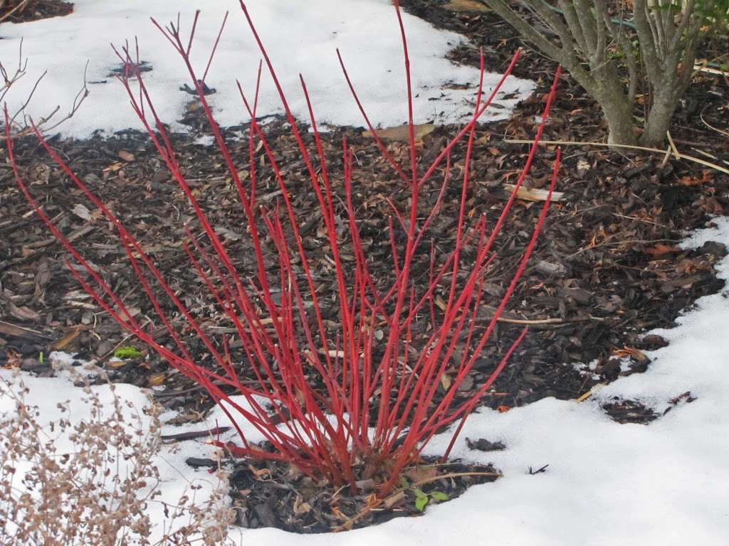 Arctic fire dogwood problems images for Red twig dogwood