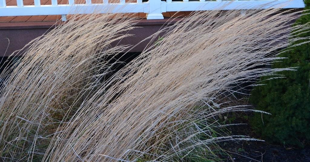Dividing Karl Foerster Grass The Obsessive Neurotic Gardener