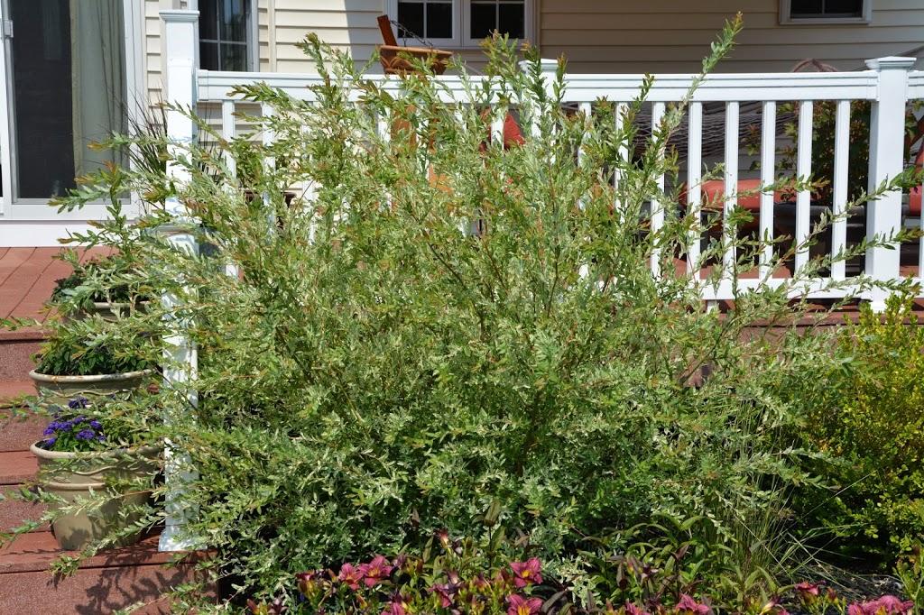 Salix hakuro nishiki the obsessive neurotic gardener - Salix hakuro nishiki taille ...