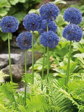 Allium_Azureum