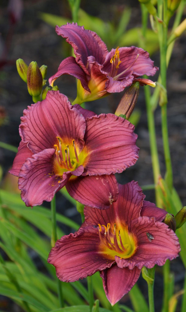 Daylily Little Grapette Lives To See Another Day The Obsessive