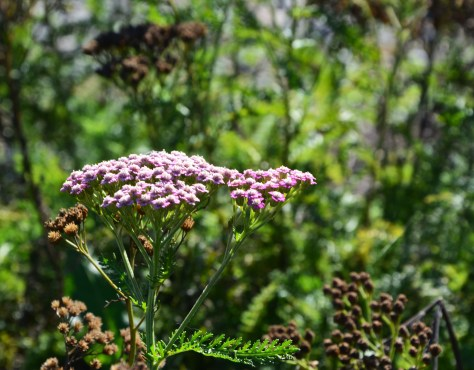 achillea grapefruit