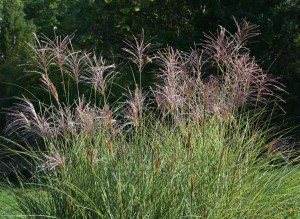 miscanthus morning light