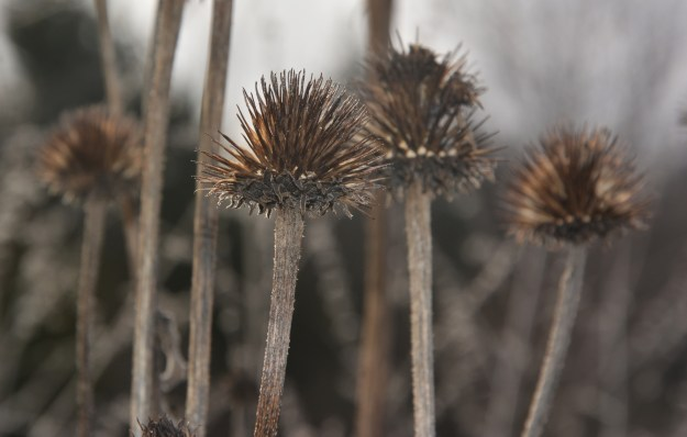 coneflower winter