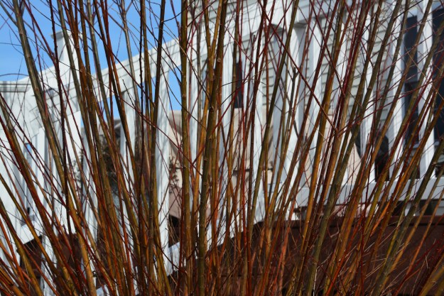 salix winter stems