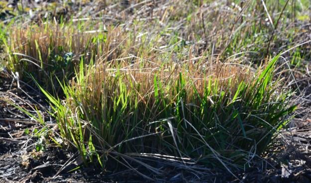 grass emerging