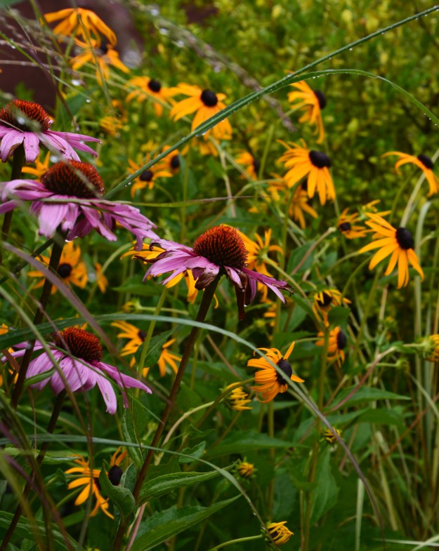 coneflowers and be susan
