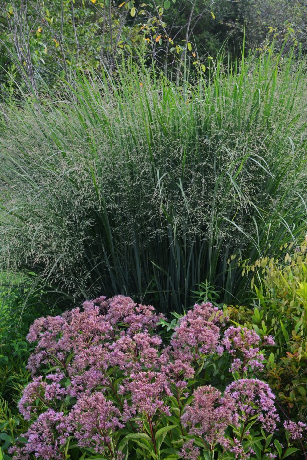 panicum and joe pye
