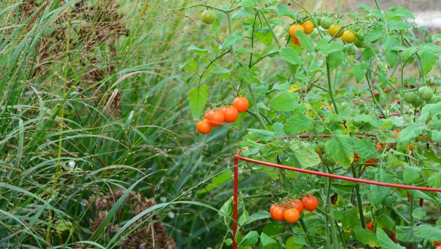 tomatoes-and-grasses