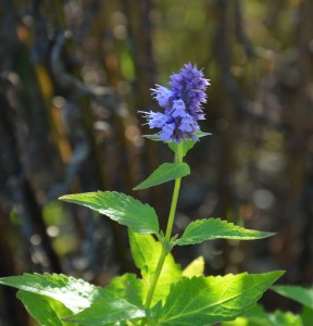 blue-fortune-agastache