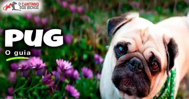 Cachorro Pug em destaque