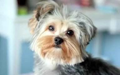 yorkshire terrier tosado