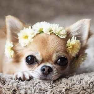 Linda feminha de Chihuahua
