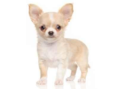 Chihuahua em fundo branco