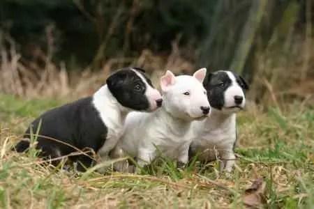 Três filhotes de Bull Terrier na natureza