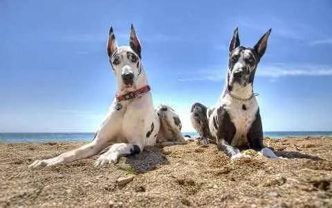 Dogues Alemães na praia