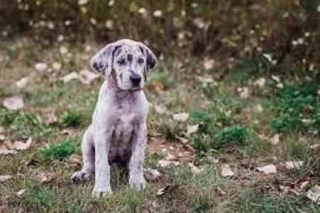 Filhote de Dogue Alemão