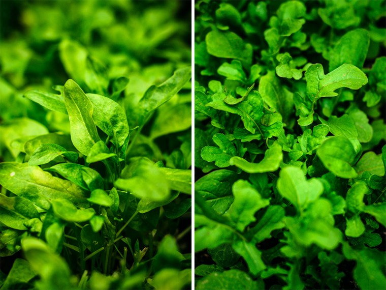 Left side: spinach macro shot in garden. Right side: rucola macro shot in garden.