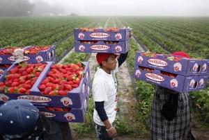Migrant workers harvest strawberries in Hillsborough County, Florida