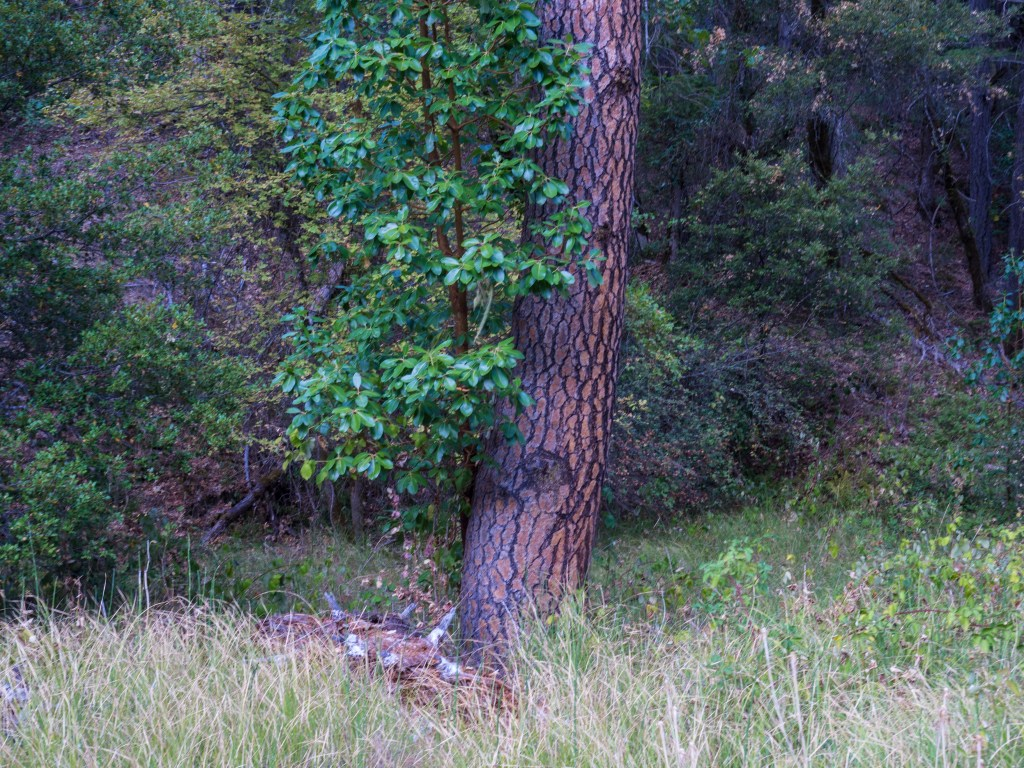 Madrone and Pine