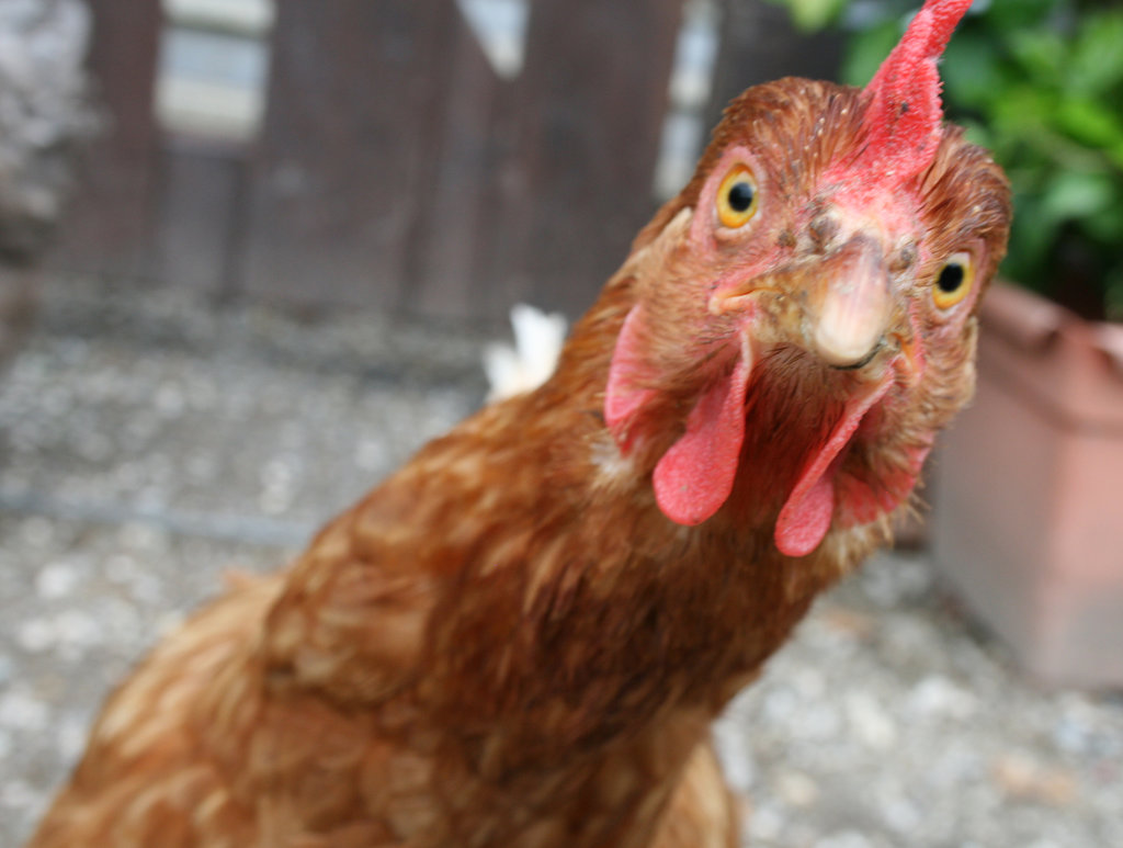 Romania MP Bribed Voters With 60 Tons of Chicken