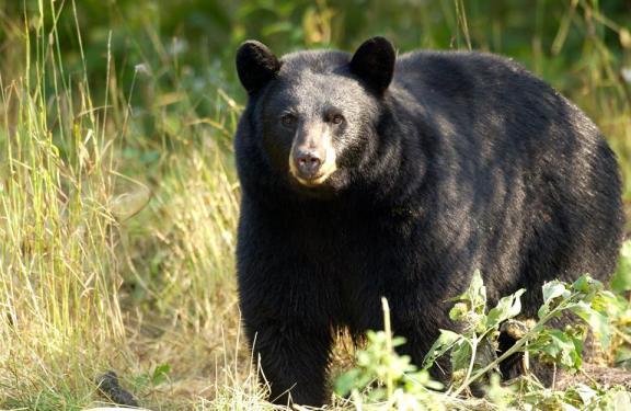 A Michigan black bear. - DNR photo