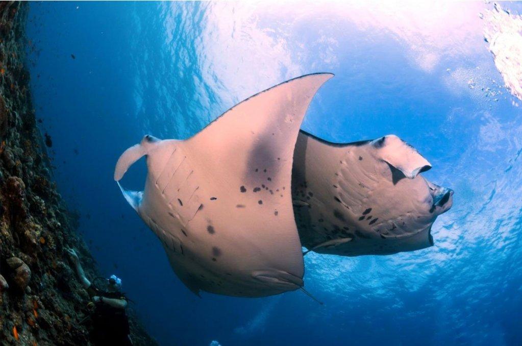 manta rays in Nusa Penida
