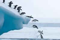 adelie penguins jump into ocean antarctica 25005