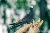 anous stolidus brown noddy 00896 - HEALTH AND FITNESS