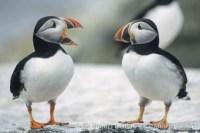 atlantic puffin machias seal island 03135 - HEALTH AND FITNESS