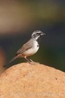 black throated sparrow 22956