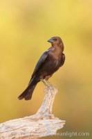 brown headed cowbird 22916