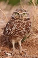 burrowing owl salton sea 22477